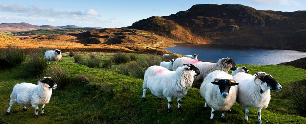 Donegal Sheep in Landscape